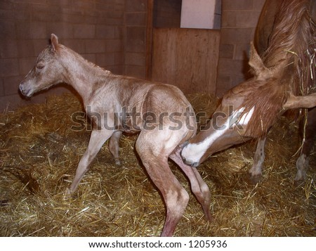 a newborn horse standing up for the first time with its mother cleaning it - stock photo