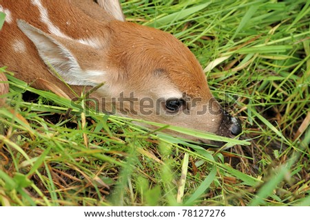A newborn whitetail deer fawn attempting to hide