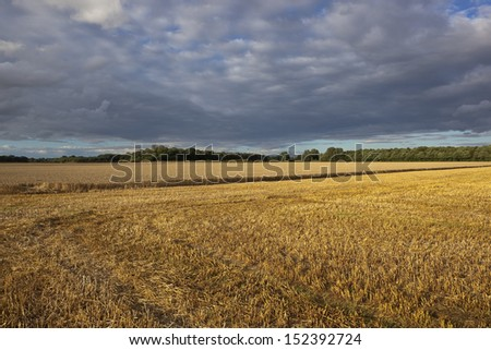 a newly cut golden wheat field in the yorkshire wolds england under a dramatic evening sky in summer