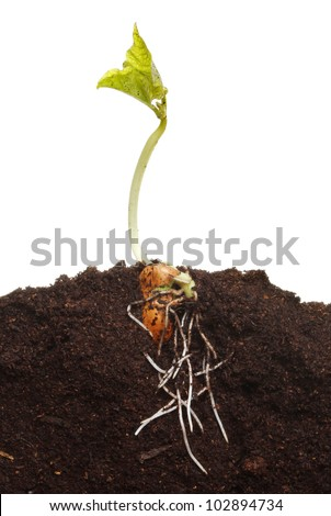 A newly germinated runner bean seedling in soil showing root structure and fresh leaves - stock photo