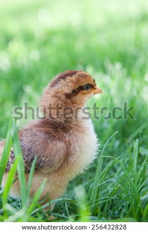 A newly hatched Speckled Sussex chick explores outside in the grass - stock photo