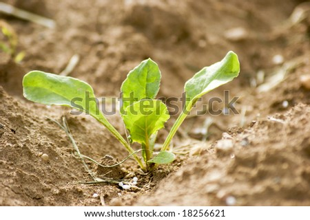A newly planted sugar beet