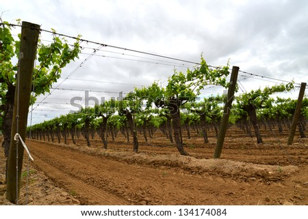 A newly planted vineyard under skies threatening rain in Central California - stock photo