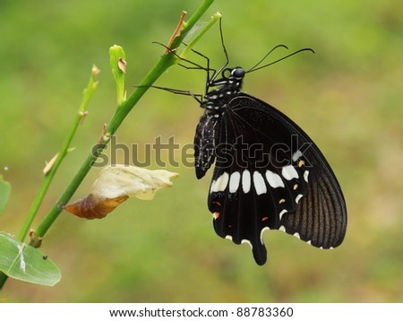A newly transformed Papilionidae Butterfly (Red Helen; Papilio helenus). - stock photo