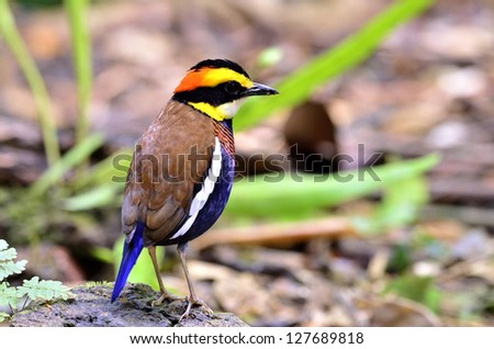 A nice back shot of male of Banded Pitta with great details