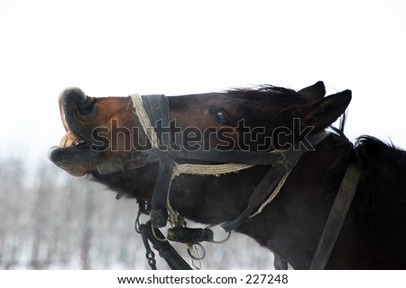 A nice horse showing it's teeth - stock photo