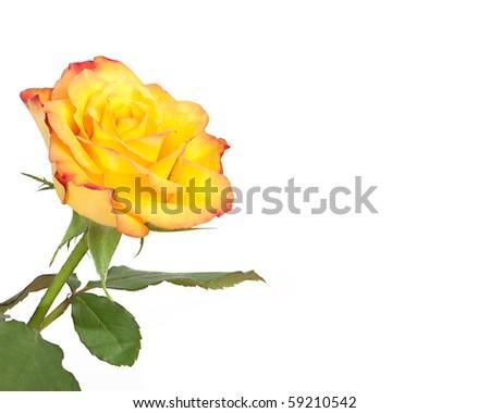 A nice yellow rose - stock photo