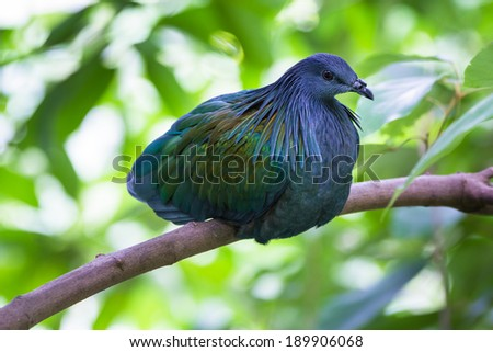 a Nicobar Pigeon in a conservation area - stock photo