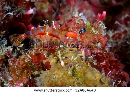 A night shrimp, or processidae, pauses and shows off her eggs on the reef during a night dive.