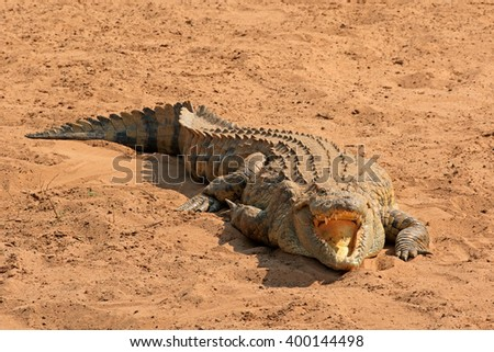 A Nile crocodile (Crocodylus niloticus) basking with open jaws, Kruger National Park, South Africa - stock photo