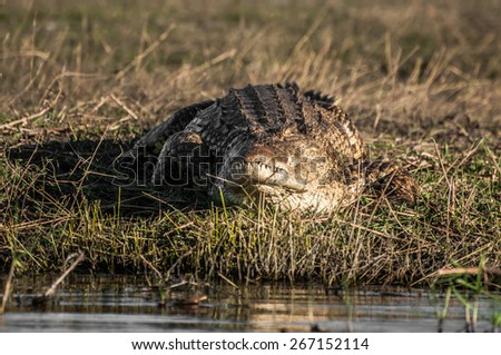 A nile crocodile lie and rest on the grass, in the late afternoon directional sun, beside the Chobe river, on an island known as Sidudu island. - stock photo