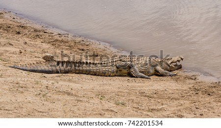 A Nile Crocodile resting on a riverbank in the Namibian savanna