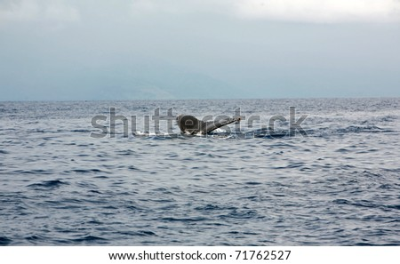 """a north pacific humpback whale """"Megaptera novaeangliae"""" a species of baleen whale shows its unique tail as it dives in the warm pacific waters around Maui Hawaii. - stock photo"""