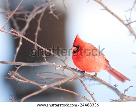A northern cardinal is perched in a tree following a snowstorm