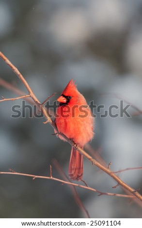 A northern cardinal is perched in a tree following a winter storm