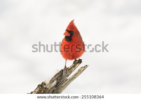 A northern cardinal perched on a branch after a winter snowfall.