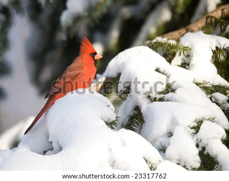 A northern cardinal perched on a snow covered branch following a winter snow storm