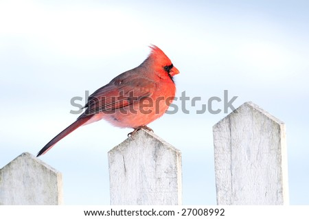 A northern cardinal sits on a white fence post following a winter storm - stock photo