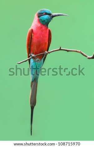 A Northern Carmine Bee-Eater (Merops nubicus). This african bird eating is made up primarily of bees and other flying insects, such as grasshoppers and locusts. - stock photo