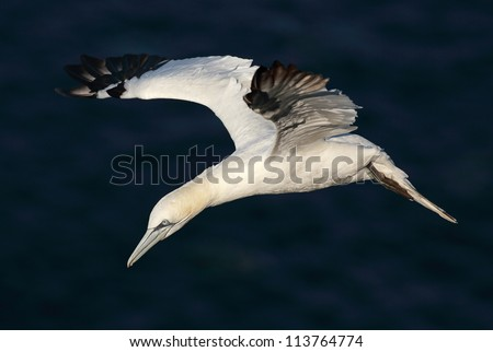 A Northern Gannet in flight above the cliffs of Troup Head in north Scotland