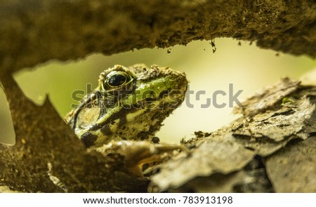 A Northern Green Frog crawls through dead leaves under the roots of a maple tree in Ontario, Canada.