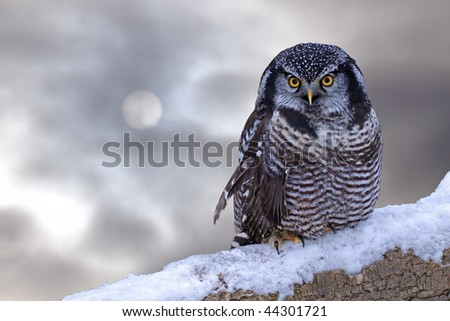 A northern hawk owl against the winter sky