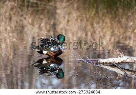 A Northern Shoveler on a pond  - stock photo