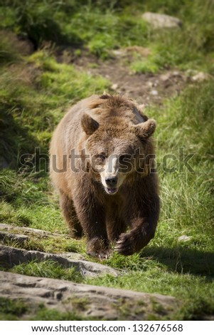 A norwegian brown she-bear walking towards the photographer. Brown bear (Ursus arctos) is a large bear distributed across much of northern Eurasia and North America.