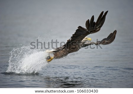 A Norwegian White-tailed sea eagle. The bird is plucking a coal fish from the frigid waters of a deep Norwegian fjord in a cloud of salt water spray, using its' huge talons as grappling hooks. - stock photo