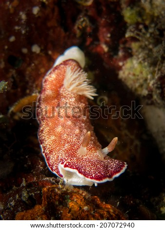 A nudibranch, sea slug on the top of the coral. Indonesia, Togeans. Portrait, detail, macro shot of the sea slug. - stock photo