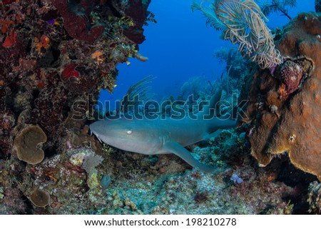A nurse shark (Ginglymostoma cirratum) lies on a Caribbean coral reef near Turneffe Atoll in Belize. This elasmobranch is generally nocturnal, hunting lobster, crabs, and small fish at night. - stock photo