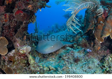 A nurse shark (Ginglymostoma cirratum) lies on a Caribbean coral reef near Turneffe Atoll in Belize. This species is generally nocturnal, hunting lobster, crabs, and small fish at night. - stock photo