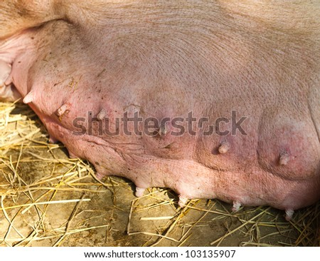 A nursing sow with full teats
