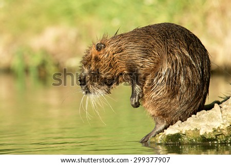 A nutria on green grass.