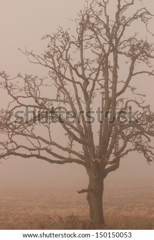 A old tree in the winter in the fog