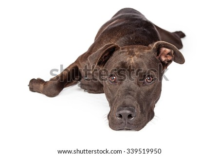 A one year old dark brown color Labrador Retriever and Pit Bull mixed breed dog laying on white background looking forward - stock photo