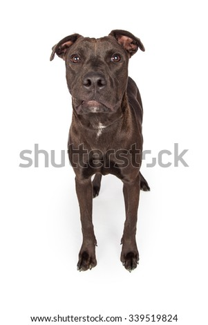 A one year old dark brown color Labrador Retriever and Pit Bull mixed breed dog standing on a white background looking forward