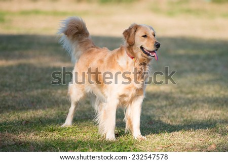A one year old golden ret riever is standing in the green. - stock photo