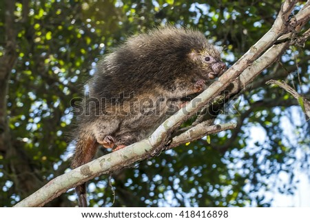 A orange-spined hairy dwarf porcupine walks on a branch in a tree. - stock photo
