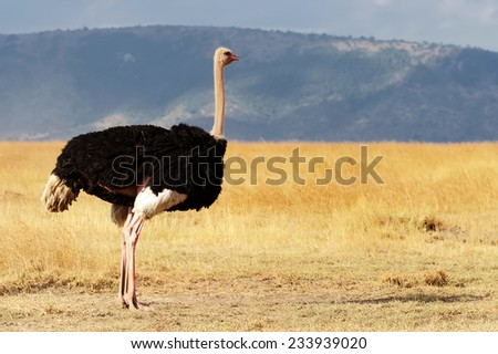A ostrich (Struthio camelus) on the Masai Mara National Reserve safari in southwestern Kenya. - stock photo