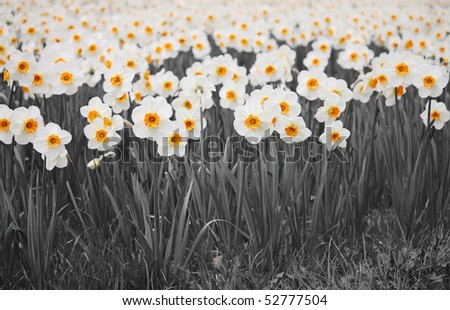 A Outdoor garden with a many daffodils . - stock photo