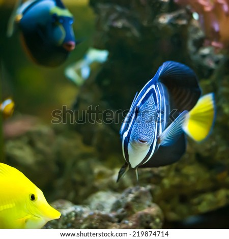 A Pacific Sailfin Tang fish (Zebrasoma veliferum) swimming along a coral reef. - stock photo