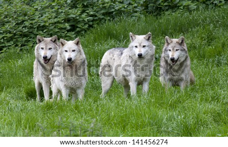A pack of four European Grey Wolves playing in grass - stock photo