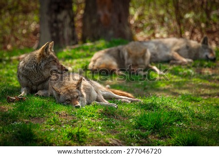 A Pack of four North American Coyotes ( Canis Latrans) rests and sleeps lazily in a Canadian forest clearing. - stock photo