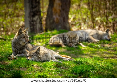 A pack of North American Coyotes lazily rest and sleep in a Canadian forest. - stock photo