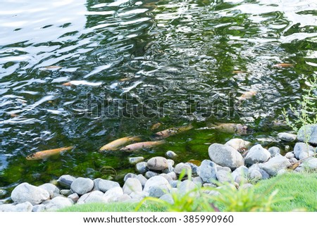 A pack of rainbow trouts (oncorhynchus mykiss) swimming in the pool surrounded with natural stones - stock photo