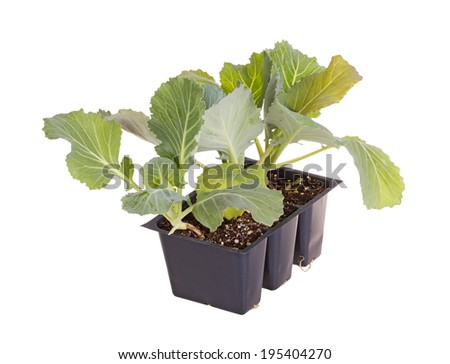 A pack of three seedlings of green cabbage (Brassica oleracea) ready to be transplanted into a home garden - stock photo