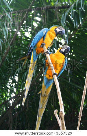 A paid of beautiful macaws.