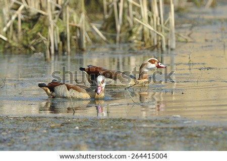 A pair Egyptian goose (Alopochen aegyptiaca) on a lake. - stock photo