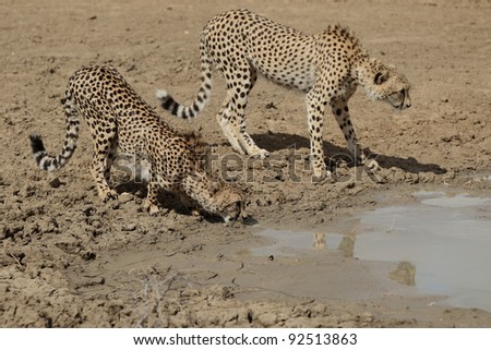 A pair of adult Cheetah drinking water - stock photo